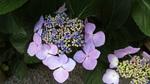 紫陽花M2