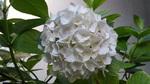 紫陽花W2
